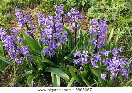 Purple Hyacinths (hyacinthus) Is One Of The First Beautiful Spring Flowers