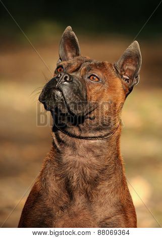Portrait Of A Chinese Chongqing Dog