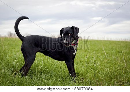 Happy black dog in grassy field