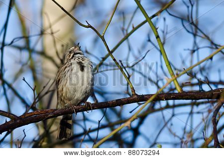 Song Sparrow Singing Its Heart Out
