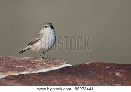 Rock Wren Making Eye Contact While Resting On Brick Wall