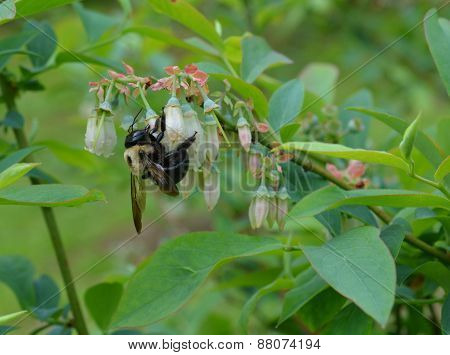 Bumble bee pollinating blueberries
