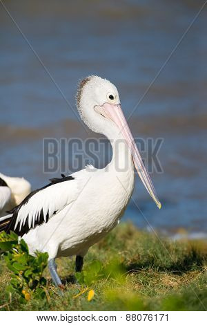 Australian Pelican Standing on Beach