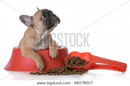 puppy nutrition - french bulldog inside a dog bowl on white background