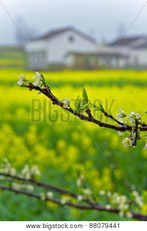 golden yellow flowers of rape fields and with dew peach flower close-up