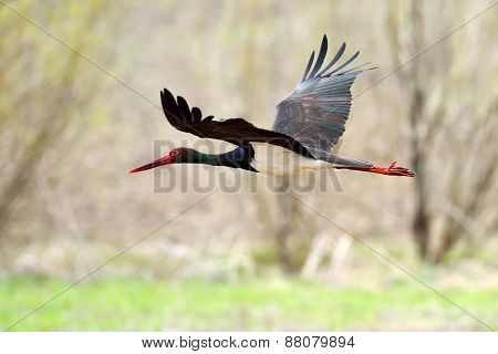 Black stork in natural habitat in spring  - Ciconia nigra