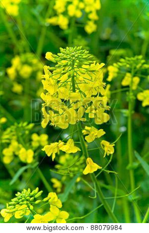 Field of blooming rape flowers close-up