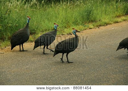 Group of Guinea Fowl