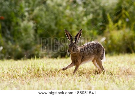 wild hare running in a field, Jura, France