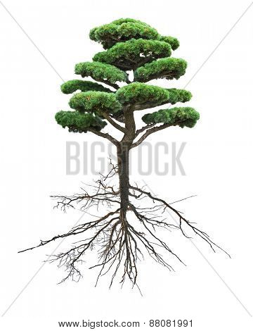 small green pine tree with root isolated on white background