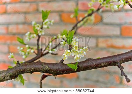 The red brick and white with dew plum close-up