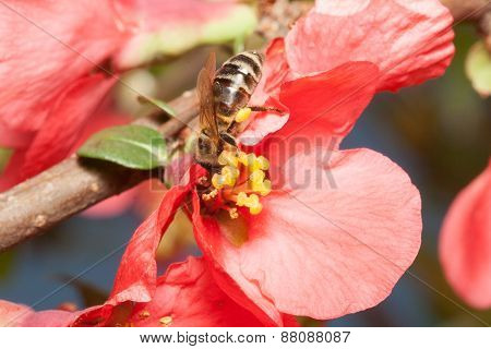 Bee Collects Nectar On The Flowers Of Japanese Quince (chaenomeles)