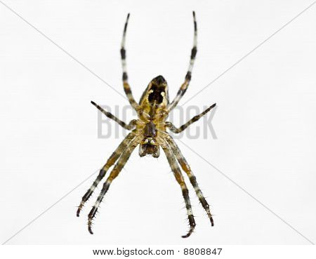 Spider Isolated On White Airaignee