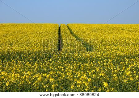 Val D Oise, A Field Of Rape In Spring