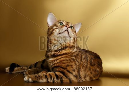 Bengal Cat on Gold background and Looking up