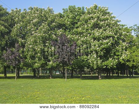 Big Chestnut Trees In Blossom
