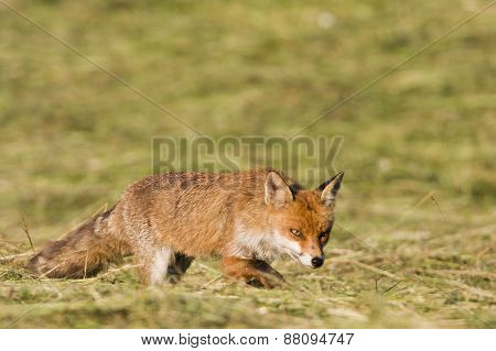 wild red fow hunting in a field, Jura, France