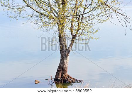 Flooded Tree