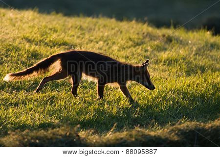 young red fox in backlight, Jura, France