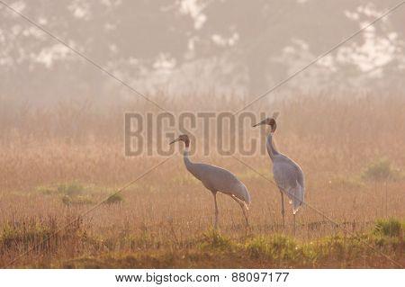couple of sarus cranes in a field, Lumbini, Nepal