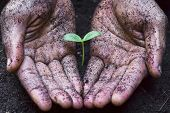 picture of nurture  - dirty hands for a gardener growing and nurturing a young tree - JPG