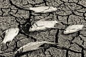 image of drought  - fish died on crack ground due to drought and river dried up - JPG