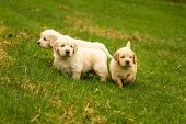 stock photo of golden retriever puppy  - A group of golden retriever puppies playing together - JPG