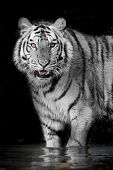 picture of sundarbans  - Closeup Tiger animal wildlife on black color  background - JPG