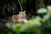 stock photo of sundarbans  - Closeup Tiger animal wildlife on green nature background - JPG