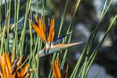 foto of bird paradise  - bright birds of paradise flowers in tropical area - JPG