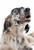 image of english setter  - cute purebred english setter laid down in front of a white background - JPG