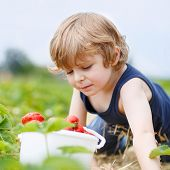 foto of strawberry blonde  - Funny little blond kid boy picking and eating strawberries on organic bio berry farm in summer on warm sunny day - JPG