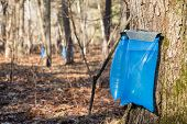 picture of tapping  - Tapping maple trees in the Spring to make maple syrup - JPG