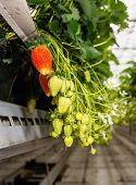 image of hydroponics  - Closeup of blossoming and ripening strawberries hanging in a modern greenhouse specialized in hydroponic strawberry cultivation on substrate - JPG
