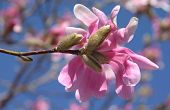 picture of bethlehem  - single pink blossom and buds on magnolia tree in late March  - JPG