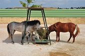 image of herbivore animal  - Skyros wild pony horses eating from hay feeder - JPG