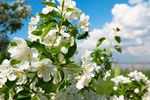 picture of jasmine  - Jasmine flower on the natural  background with clouds - JPG
