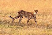 foto of cheetah  - Male cheetah walking in grass and looking for its pray in Masai Mara Kenya - JPG