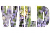 stock photo of lavender plant  - Word WILD over butterfly sitting on lavender plants - JPG
