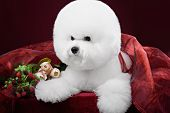 foto of bichon frise dog  - portrait of the bichon dog with white fur - JPG