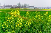 foto of rape  - Chinese country rape and wheat fields of vision - JPG
