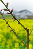 stock photo of rape  - China Hanzhoung golden yellow flowers of rape fields and with dew peach flower close - JPG