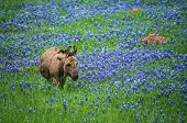 stock photo of burro  - Donkey grazing on bluebonnet pasture in Texas spring - JPG