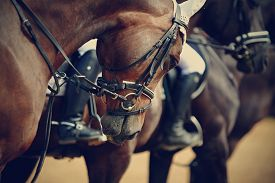 stock photo of stallion  - Sports horses in ammunition before competitions - JPG