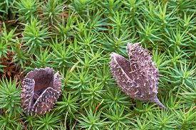 picture of beechnut  - Two shell beechnuts lying on green moss - JPG