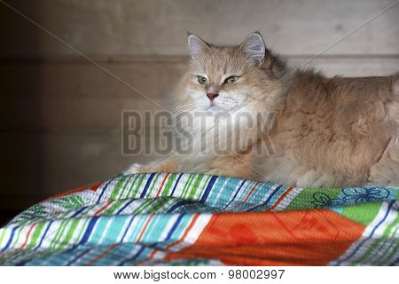 Siberian cat on the bed