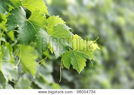 Vine Leaves With Tendrils Against Blurred Background