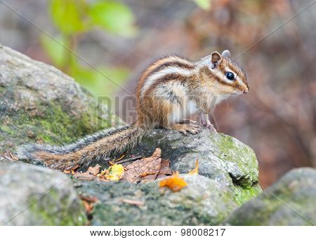 Siberian chipmunk - symbol animal of the  of Seoraksan National Park, South korea