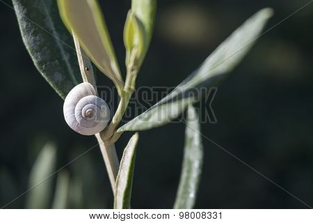 White Snail Shell On A Sage Plant In The Herb Garden