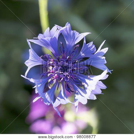 Nice Blue Cornflower
